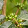Gruppenreisen für Alleinreisende & Erlebnisreisen | Kolumbien Ablauf Kaffeepflanze in Salento