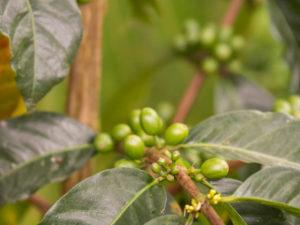 Gruppenreisen für Alleinreisende & Erlebnisreisen I Kolumbien Ablauf Tag 8 Besuch einer Kaffeeplantage in Salento