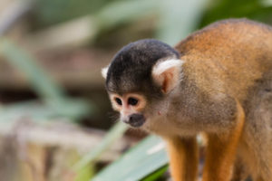 Gruppenreisen für Alleinreisende & Erlebnisreisen I Anden Ablauf I Tag 13 Affe während der Dschungeltour in Rurrenabaque